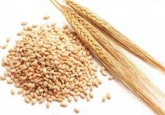 麦芽的功效与作用