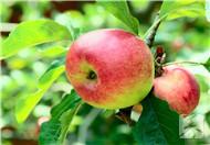 苹果酵素的作用有哪些