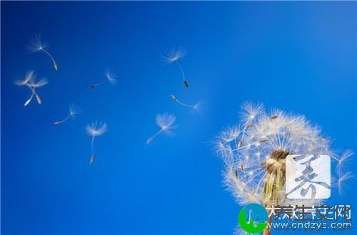 蒲公英金银花胎菊的功效有哪些?