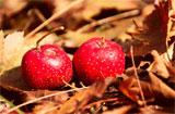 秋季肺燥,吃什么水果清肺润肺