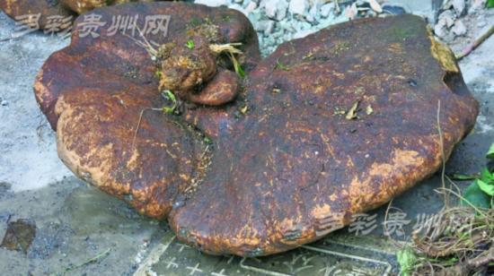 罗锅底是什么 罗锅底功效有哪些